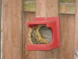 A squirrel snoozes in our feeder after eating all the corn.